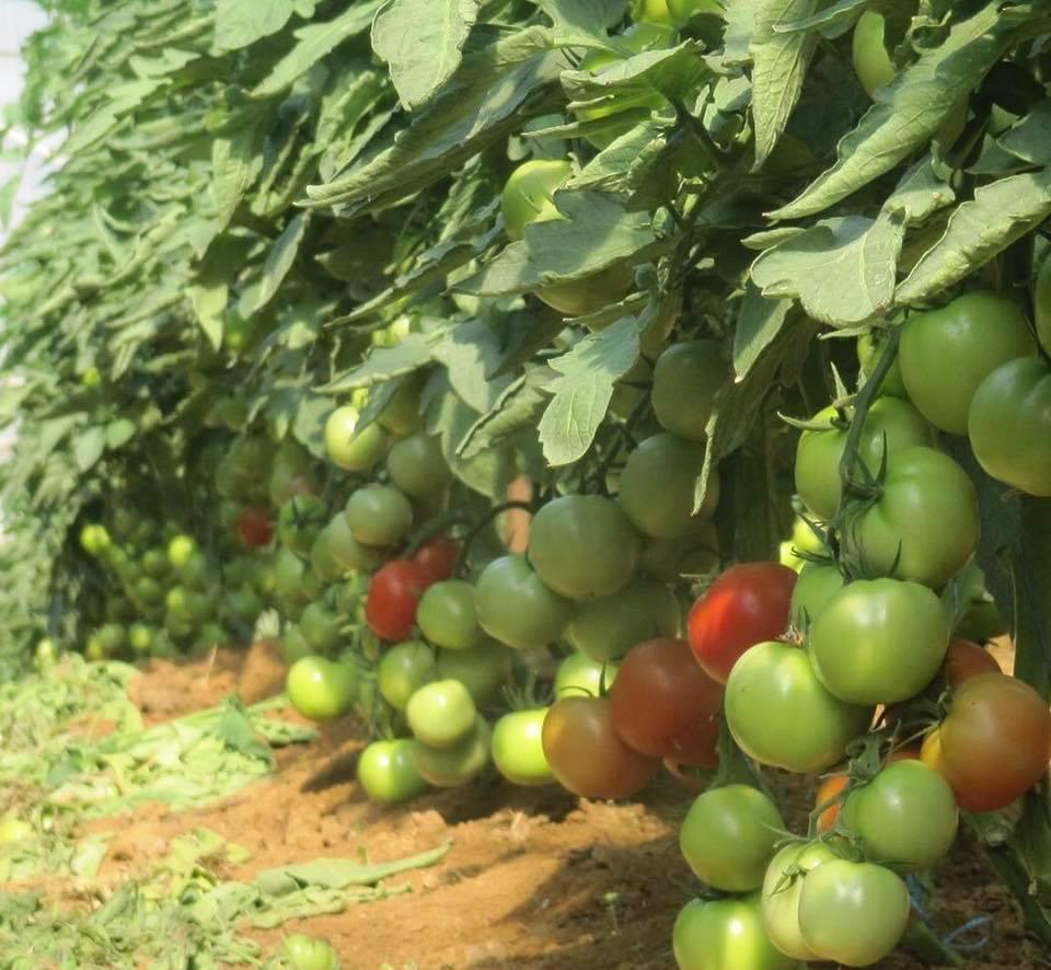 19-16 tomato
